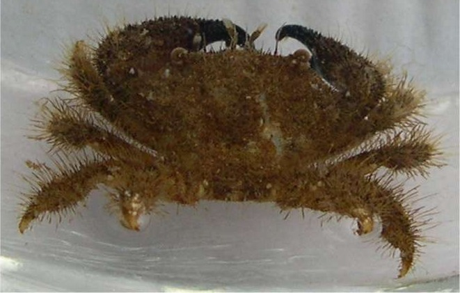 brown_crab_1.jpg