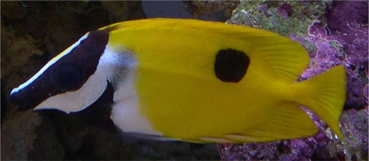 One spot foxface rabbitfish for sale or trade reef for Fox face fish