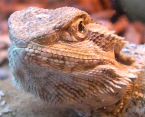 Norman the bearded                 lizard