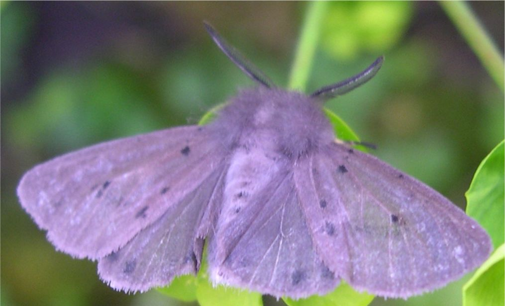 Early Riser >> New Moths Found 1 May 2005