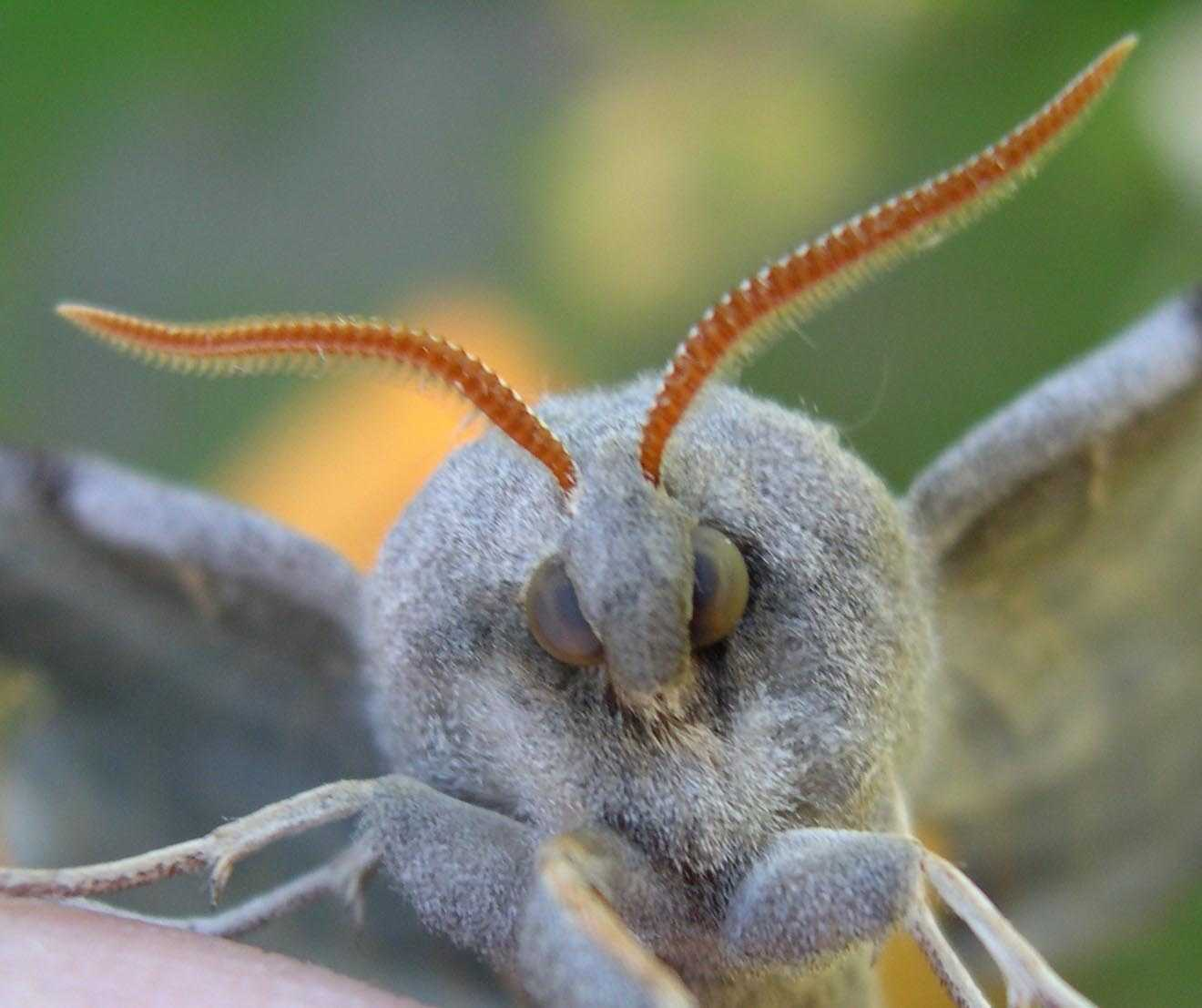 Poplar                   Hawk Moth, face-on close-up