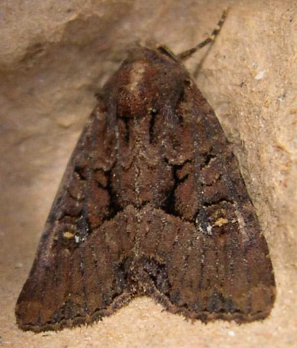 What Is Mother Of Pearl >> New Moths Found 20 July 2003