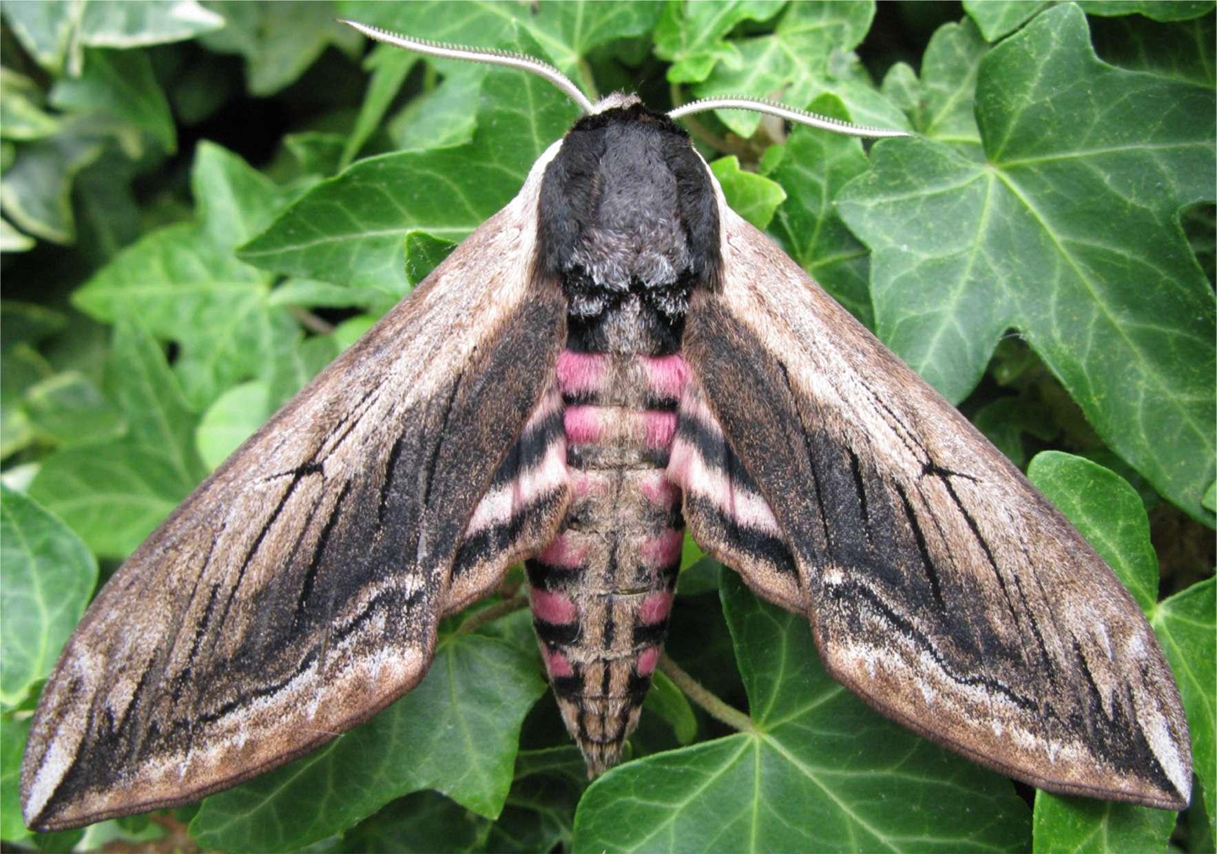 Privet hawk moth - photo#1