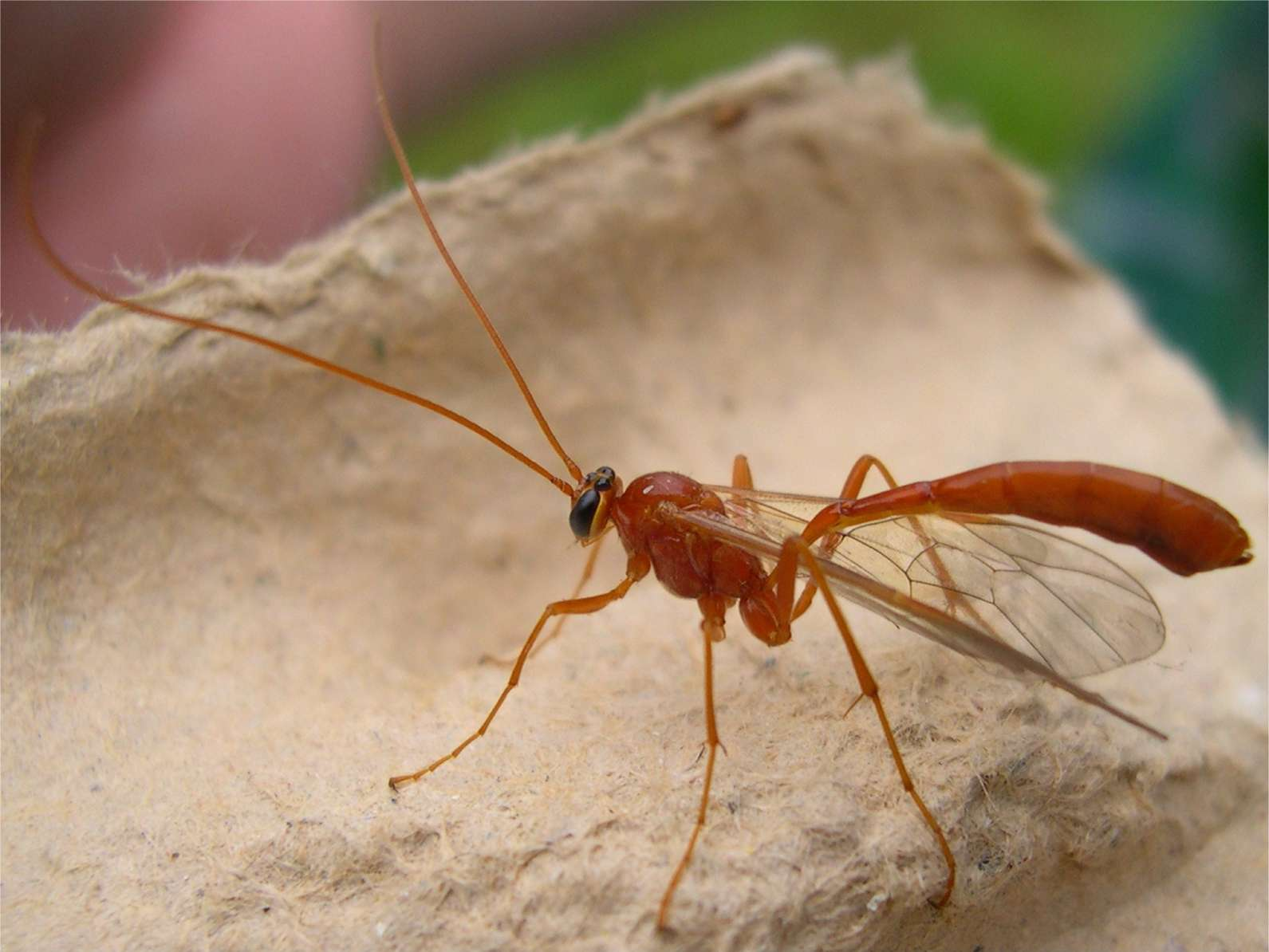 Red flying insect with a small stinger? | Yahoo Answers - photo#24